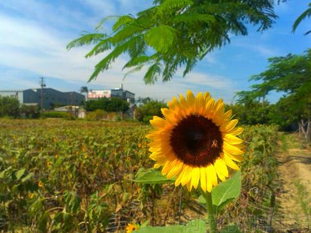桃園觀音-向陽農場11太陽花花圃