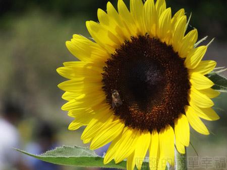 桃園觀音-向陽農場12太陽花花圃