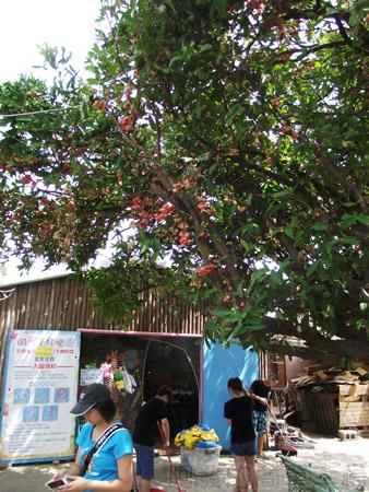 桃園觀音-向陽農場25蓮霧樹