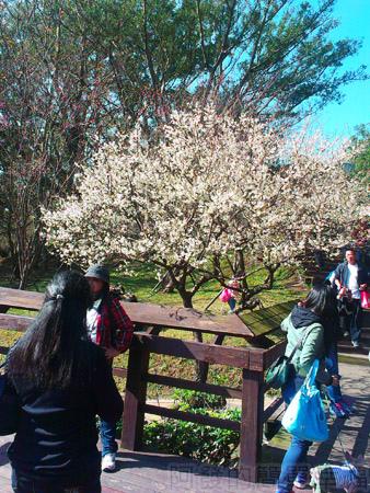 復興角板山行館賞梅05花開茂盛的梅樹