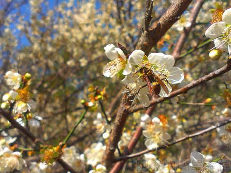 復興角板山行館賞梅06採蜜的蜂兒