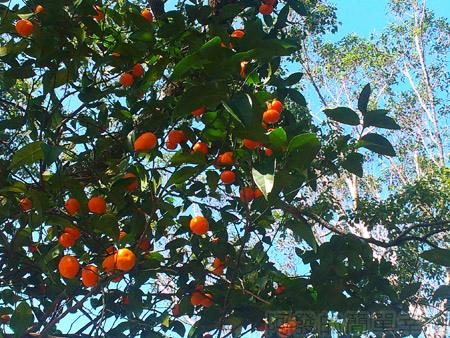 復興角板山行館賞梅30柑的季節