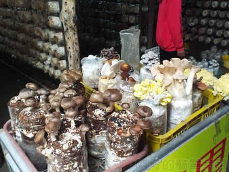 台中新社採菇趣II-13阿亮香菇園-區內可採菇類