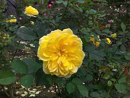 2014士林官邸玫瑰花展18玫瑰園區