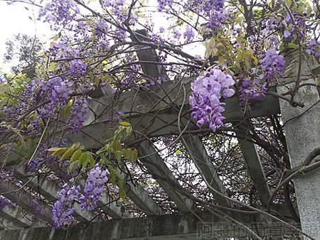 2014士林官邸玫瑰花展24西式庭園涼亭