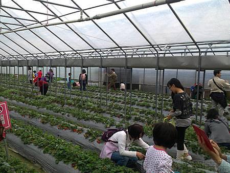 內湖碧山路採草莓I-14莓圃-溫室草莓園