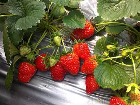 內湖碧山路採草莓I-17莓圃-新鮮的草莓