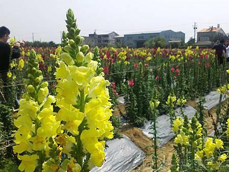 桃園觀音向陽農場II-10盛開的花況