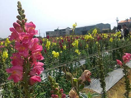 桃園觀音向陽農場II-11盛開的花況