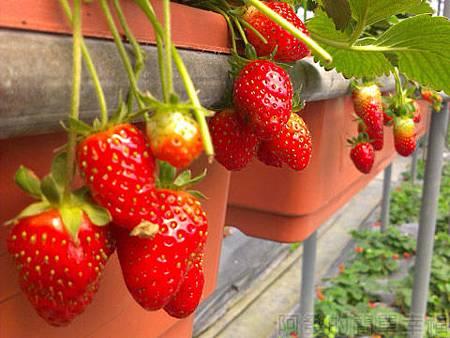 內湖碧山路採草莓II-02山櫻草莓園