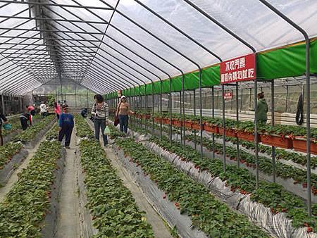 內湖碧山路採草莓II-03山櫻草莓園
