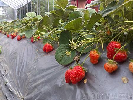 內湖碧山路採草莓II-04山櫻草莓園