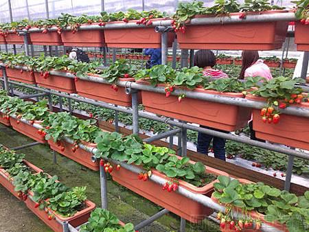 內湖碧山路採草莓II-05山櫻草莓園
