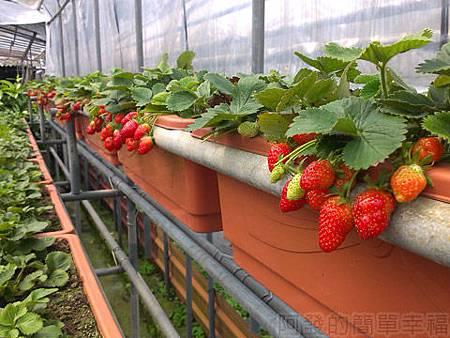 內湖碧山路採草莓II-06山櫻草莓園