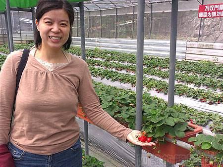 內湖碧山路採草莓II-07山櫻草莓園