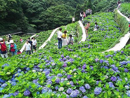 竹子湖-大梯田繡球花海21