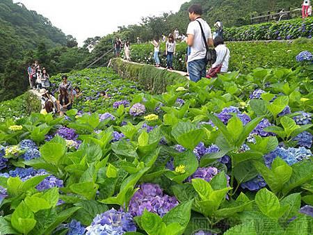 竹子湖-大梯田繡球花海23