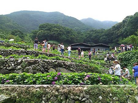 竹子湖-大梯田繡球花海25