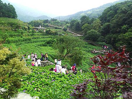 竹子湖-大梯田繡球花海37