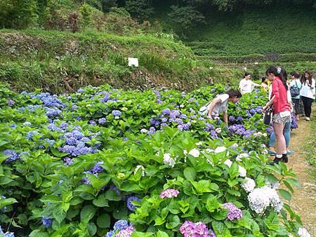 竹子湖-大梯田繡球花海38