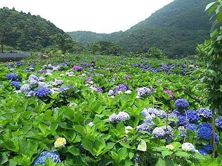 竹子湖-大梯田繡球花海04-一旁的繡球花海