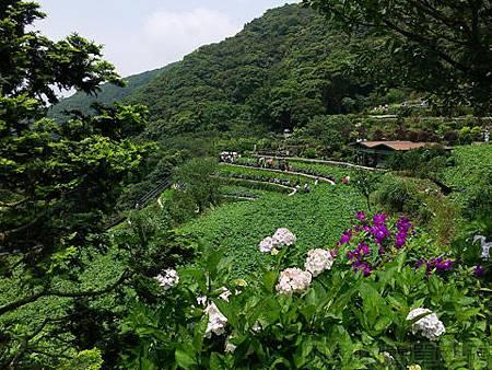 竹子湖-大梯田繡球花海06-繡球花梯田