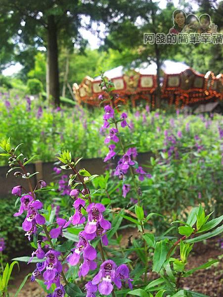新社-薰衣草森林29薰衣草田-紫色花草代班