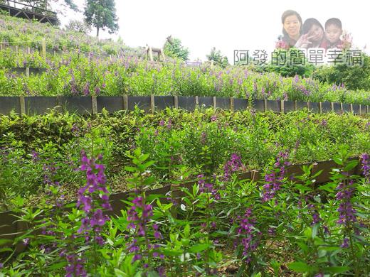 新社-薰衣草森林30薰衣草田-紫色花海