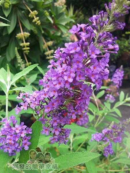 新社-薰衣草森林60香草市集-紫色花朵