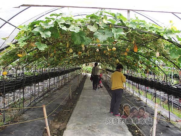 南瓜王國(旺山休閒農場)25南瓜隧道III