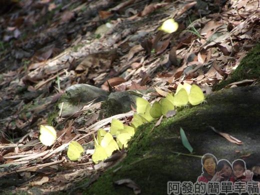 宜蘭礁溪-龍潭湖30黃蝴蝶