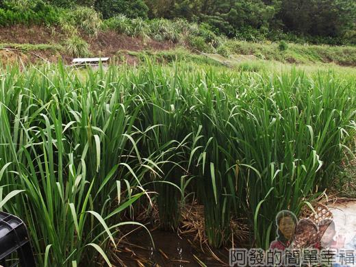 八連溪有機生態村之旅II16番婆林休閒農場-茭白筍