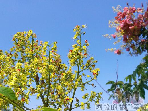 冬山河自行車專用道07美麗的台灣欒樹-初秋時節會開滿黃色小花