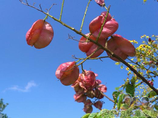 冬山河自行車專用道08美麗的台灣欒樹-紅色蒴果