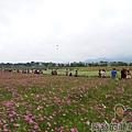 2014新社花海05-波斯菊花海(10號區)
