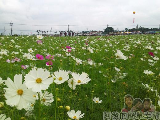 2014新社花海06-波斯菊花海(10號區)