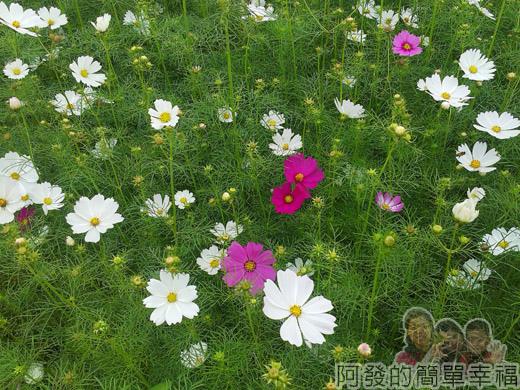 2014新社花海07-波斯菊花海(10號區)