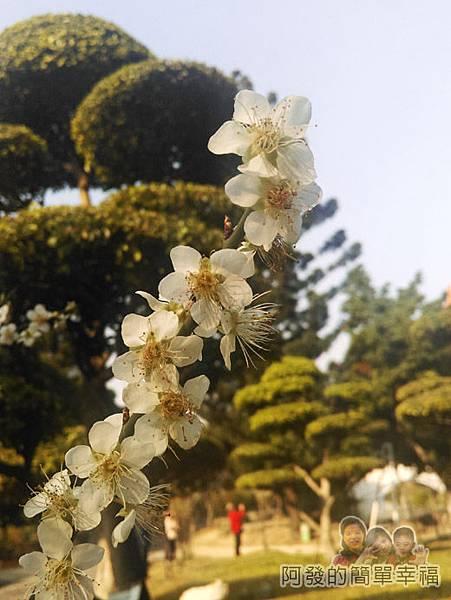 中正紀念堂梅景08-雲漢池旁-果梅區