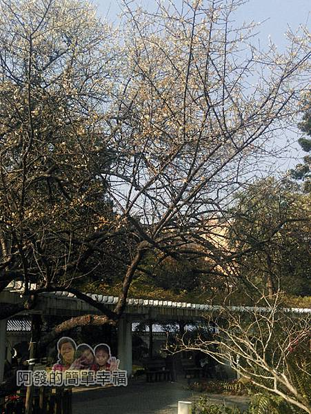 中正紀念堂梅景12-雲漢池旁-樂活花園-老梅樹(果梅)