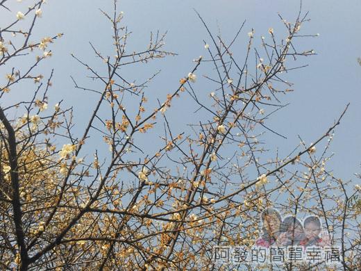 中正紀念堂梅景14-雲漢池旁-樂活花園-老梅樹(果梅)