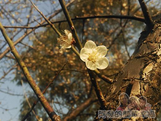 中正紀念堂梅景16-雲漢池旁-樂活花園-老梅樹(果梅)