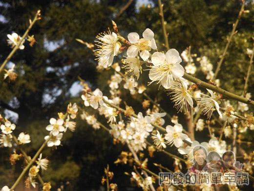 中正紀念堂梅景15-雲漢池旁-樂活花園-老梅樹(果梅)
