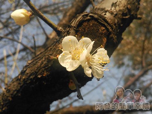 中正紀念堂梅景17-雲漢池旁-樂活花園-老梅樹(果梅)