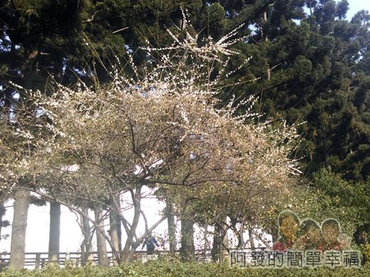 中正紀念堂梅景21-南洋杉步道旁-果梅區