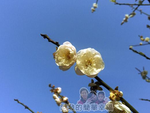 中正紀念堂梅景27-杭州南路與信義路出口-純香梅花區