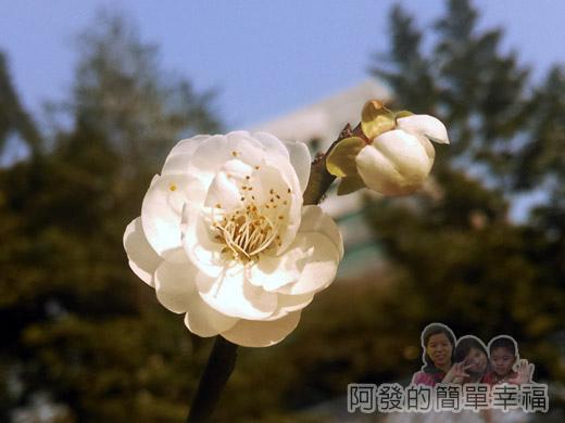 中正紀念堂梅景30-杭州南路與信義路出口-純香梅花區