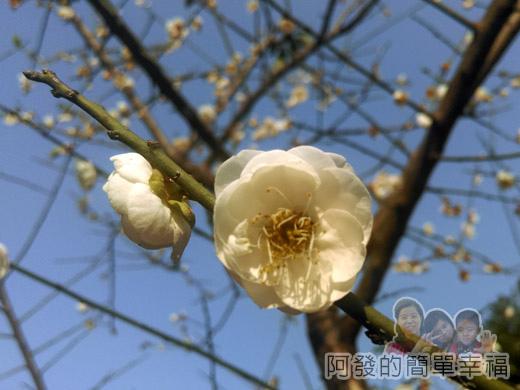中正紀念堂梅景31-杭州南路與信義路出口-純香梅花區