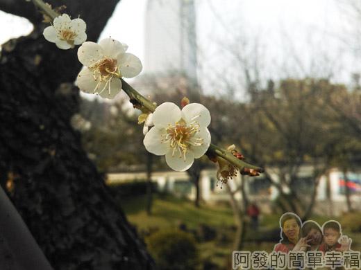 逸仙公園07-國父史蹟館前的梅花