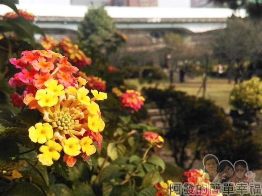 逸仙公園17-公園中盛開的馬纓丹