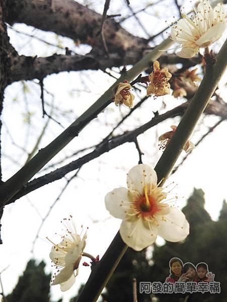 逸仙公園20-盛開的梅花